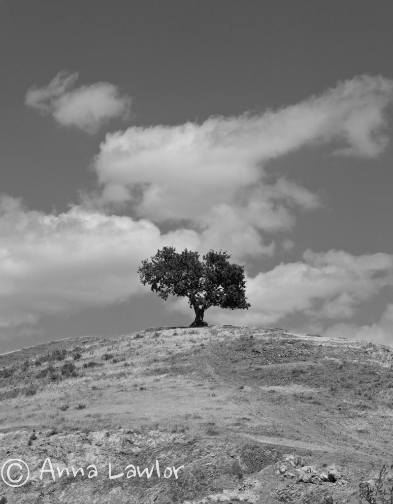 Spanish-olive-tree